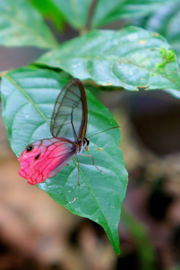 A butterfly in Yasuni National Park in the Ecuadorian Amazon. Photo by Jeremy Hance.