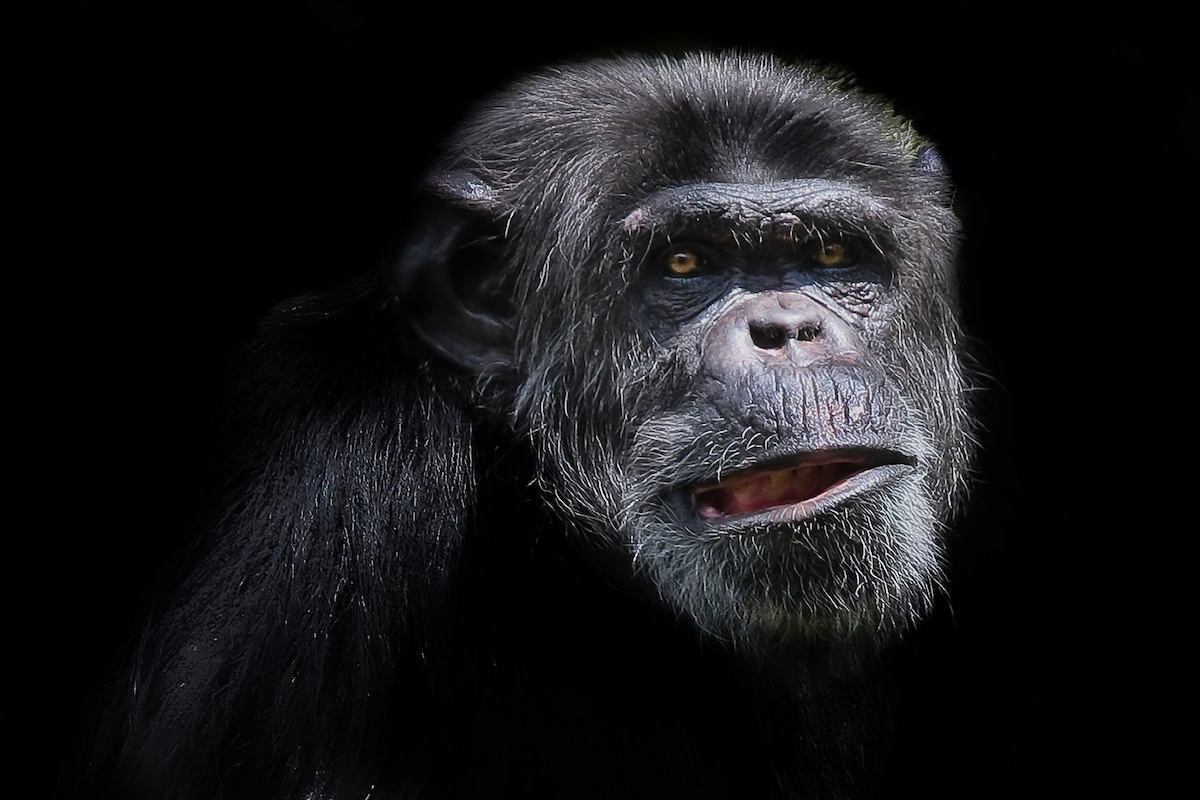 Chimpanzee. Photo by Patrick Bouquet/Flickr.