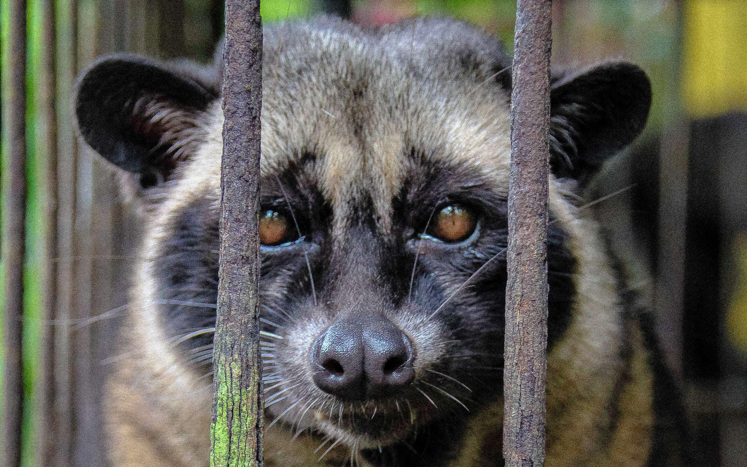 "Civets are slender bodied small mammals that are highly active nocturnal tree dwellers that cannot adapt to these captive conditions. Photo by Neil D""Cruze/World Animal Protection."
