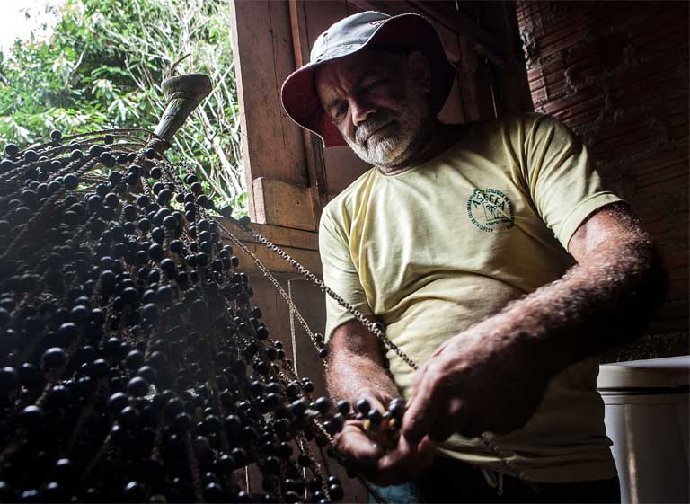 Homesteader Antônio Silva harvesting fruit. Photo by Lilo Clareto / Repórter Brasil