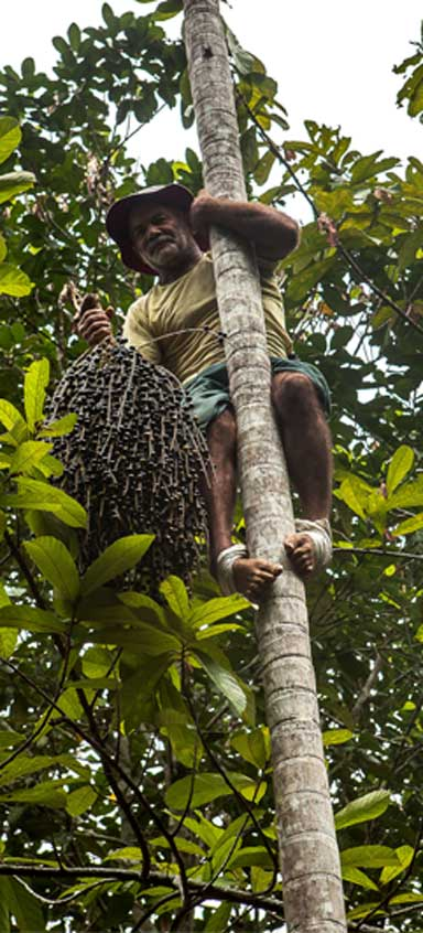 64year old homesteader and farmer, Antônio Silva climbs an açaí tree in a matter of a few seconds to harvest its fruit. Photo by Lilo Clareto / Repórter Brasil