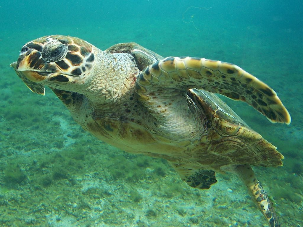Young Hawksbill sea turtle. Photo by B.navez, Wikimedia Commons, CC BY-SA 3.0.