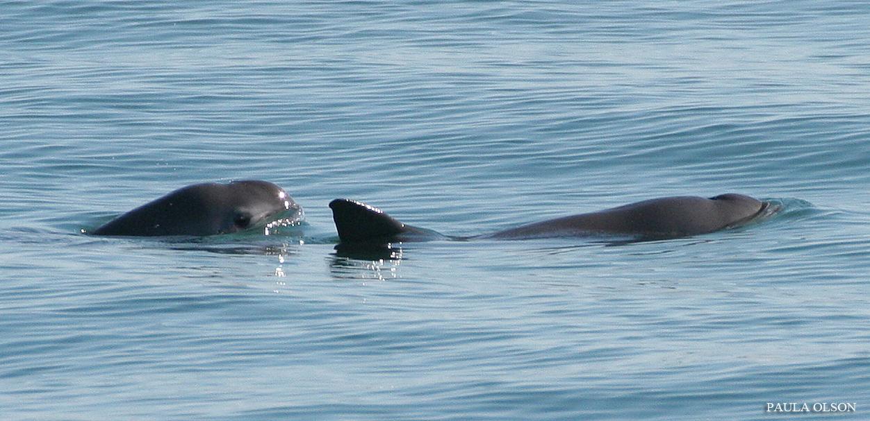 Fewer than 100 vaquitas remain in the Gulf of California. Photo by Paula Olson, NOAA.