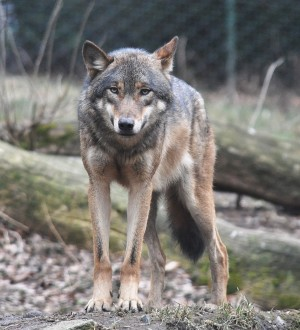 European_grey_wolf_in_Prague_zoo