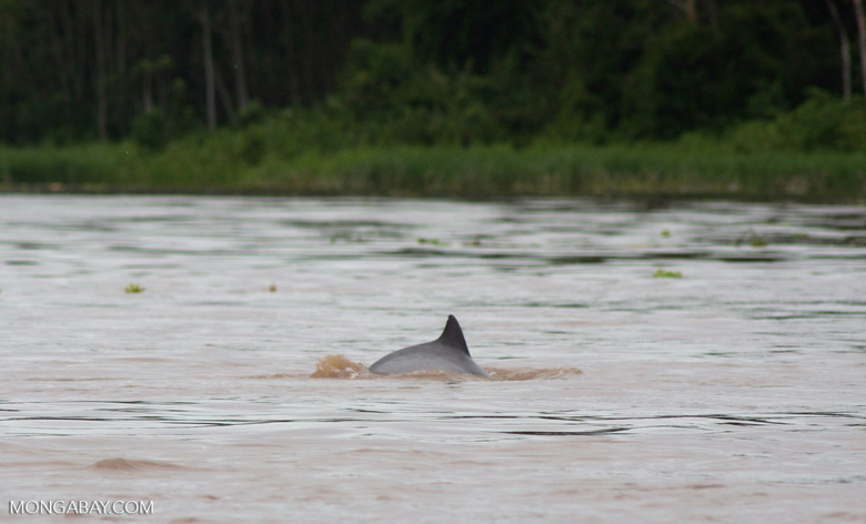 A Tucuxi freshwater dolphin in the Amazon River. Photo by Rhett A. Butler