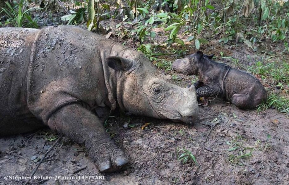 Ratu and her new baby. Photo courtesy of the International Rhino Foundation