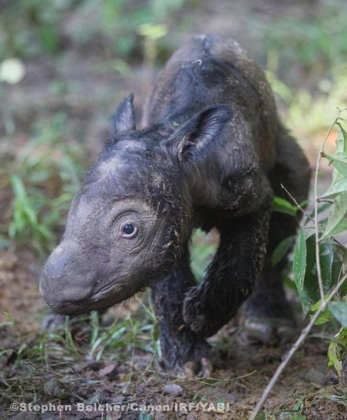 The newly born calf just hours after her birth. Photo courtesy of the International Rhino Foundation
