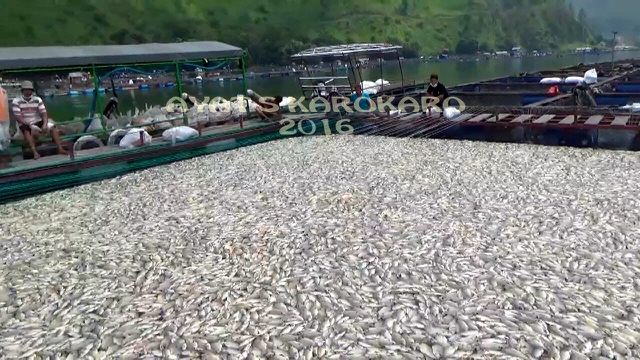 A carpet of dead fish in one of the floating net cages in Lake Toba. Photo by Ayat S Karokaro/Mongabay