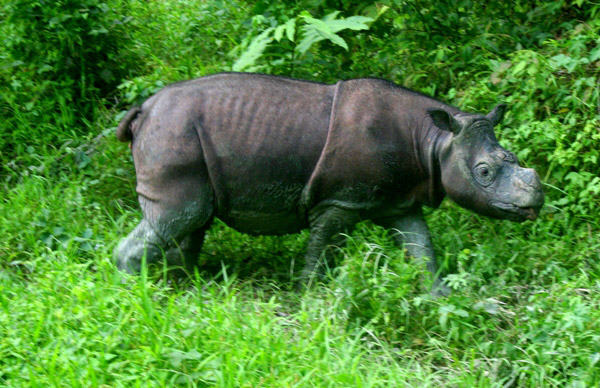 A captive Bornean rhino (Dicerorhinus sumatrensis harrissoni) named Tam in Sabah, Malaysia, where only three captive rhinos are known to survive. Photo by Jeremy Hance.