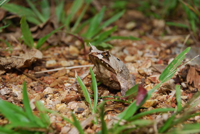 The Palawan horned frog (Megophrys ligayae) an endangered species endemic to the Philippines. Photo by Pierre Fidenci/Wikimedia Commons.