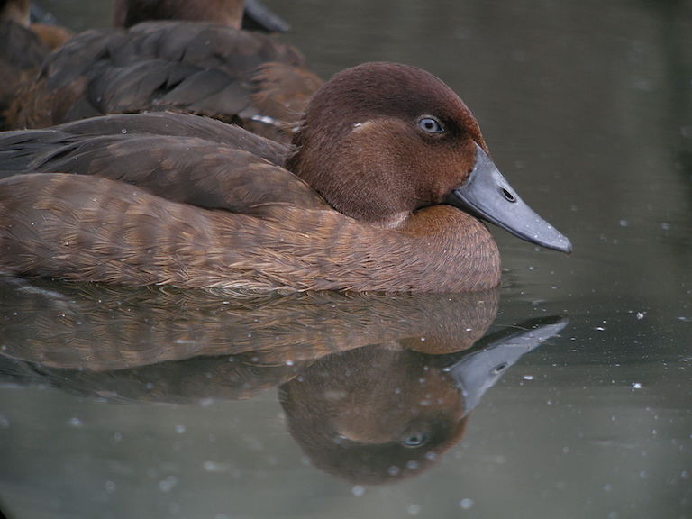 Madagascar pochard (Aythya innotata), a Critically Endangered duck whose population Durrell Wildlife Trust has boosted from 22 to around 100 via a captive breeding program. Photo by Frank Vassen/Flickr.