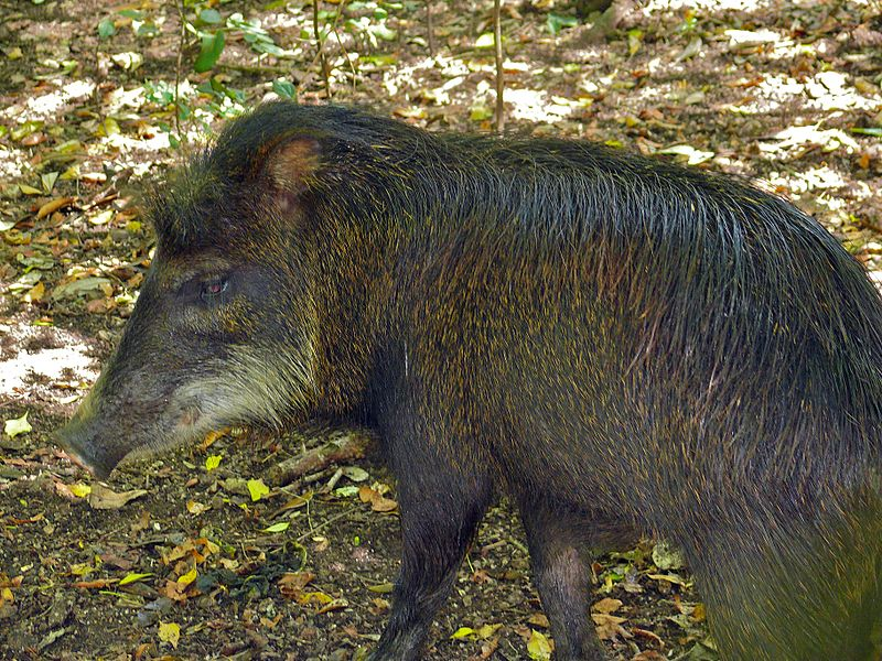 White-lipped Peccary (Tayassu_pecari). Photo by Bernard Dupont licensed under the Creative Commons Attribution-Share Alike 2.0 Generic license