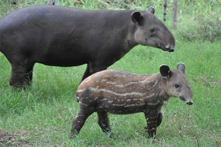 Baird's tapir (Tapirus bairdii), one of the species that would be threatened by the canal if it is built. Photo by Chris Jordan