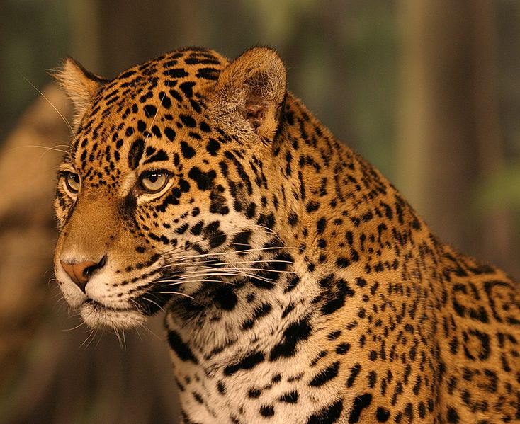 Jaguars and the wildlife corridor they use to move north and south through Central America would be threatened by the Nicaragua Canal says a recent study. Photo by Cburnett under the terms of the GNU Free Documentation License, Version 1.2