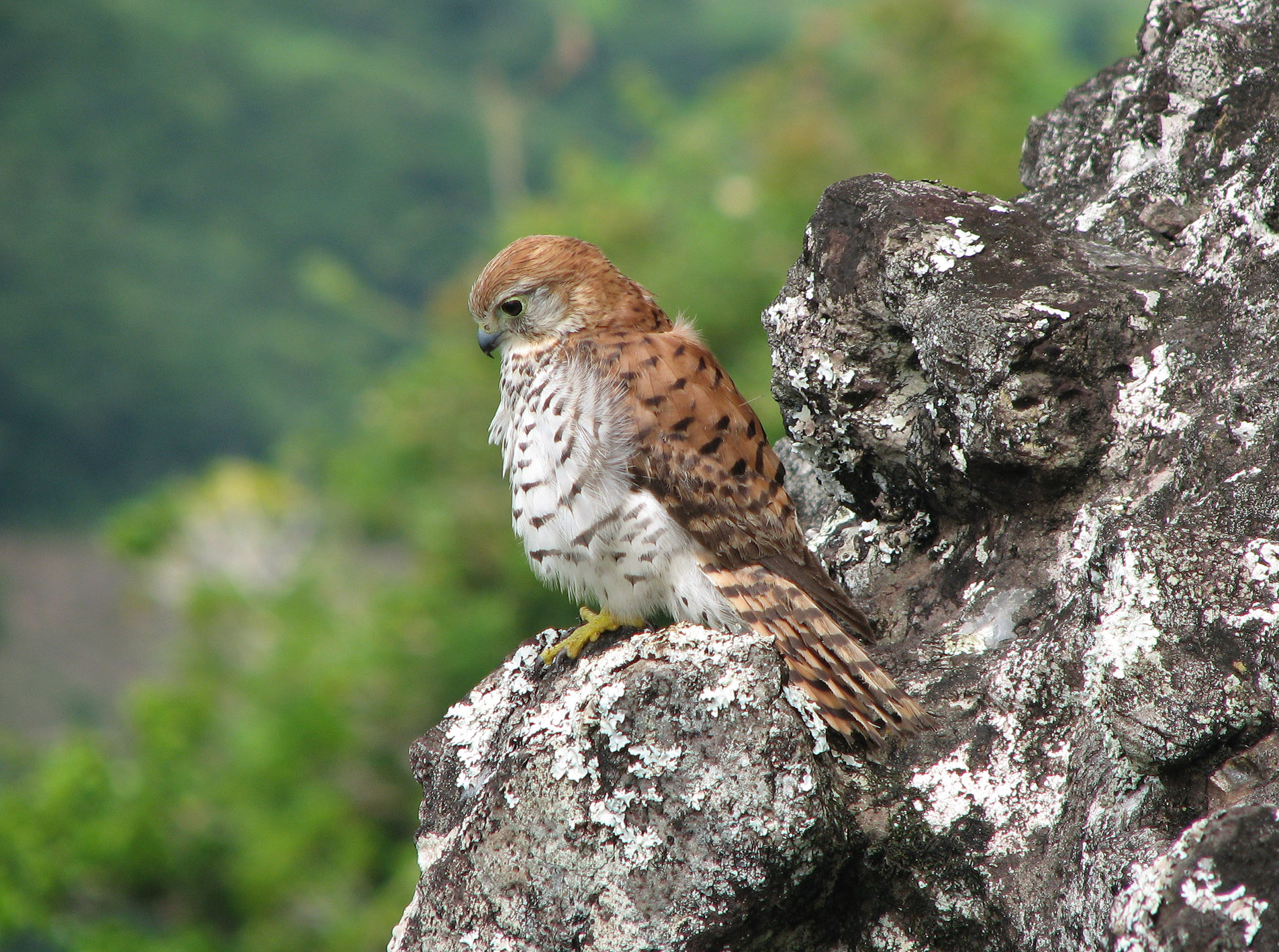 Carl Jones's efforts boosted Mauritius kestrel nubers from 4 in the 1970s to more than 300 in a decade. Photo by Sam Cartwright, courtesy of Indianapolis Prize.