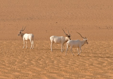 addax_facing_imminent_extinction___c__thomas_rabeil_sahara_conservation_fund_1