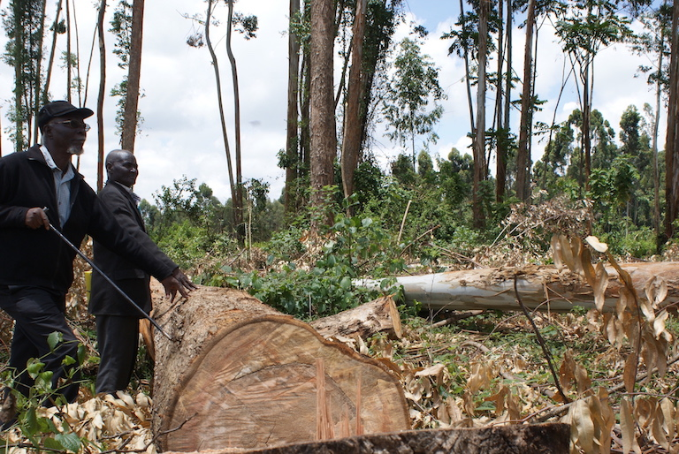 Members of the Atiriri Bururi ma Chuka community group show timber being logged from Mt. Kenya forest. Photo by David Njagi.