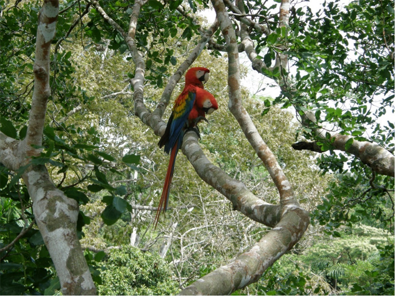 Scarlet Macaws (Ara Macao) are long living, large size parrots nesting in large rainforest trees. Photo by George Olah.