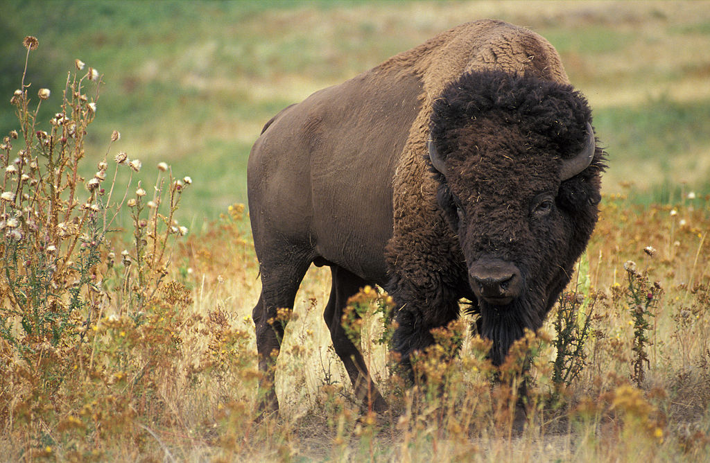 The American bison is slated to become the US national mammal. Photo by Jack Dykinga, Public Domain.
