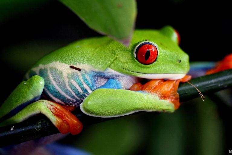 Red-eyed tree frog. Photo credit: Rhett A. Butler