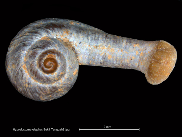Limestone quarrying may have caused the extinction of the elephant trunk snail (Hypselostoma elephas). Photo by Thorseng Liew.