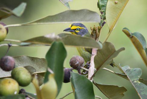 Slaty-capped Shrike-vireo (Vireolanius leucotis)_Santarem_Alexander Lees