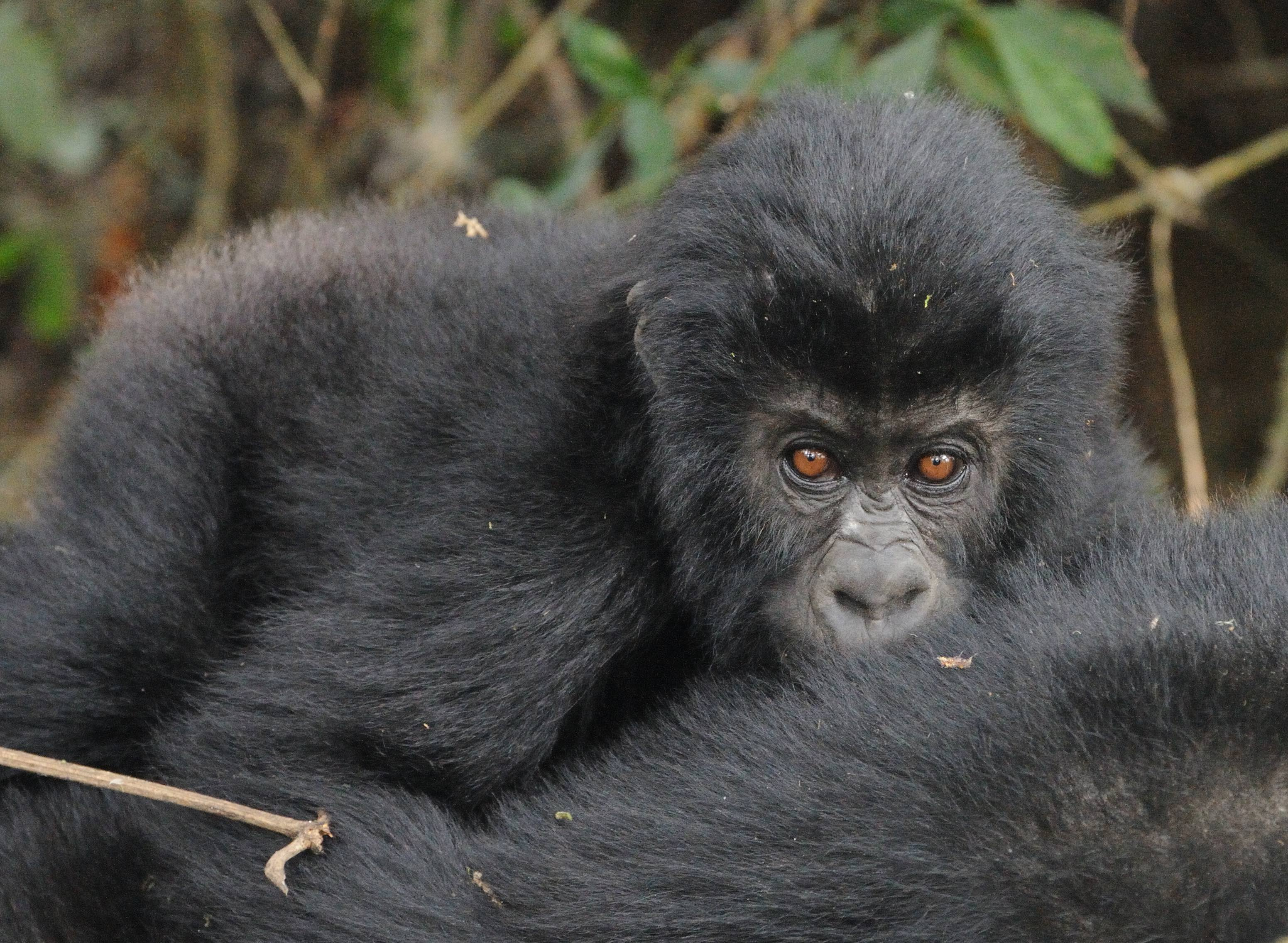 The Itombwe reserve is a critical conservation area for the Gruaer's gorilla, largest of the great apes. Photo courtesy of WCS.