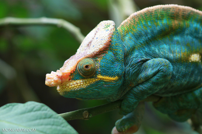 Many tropical species, especially reptiles and amphibians, are adapted to specific temperature ranges. Paron's chameleon in Madagascar. Photo by Rhett A. Butler.