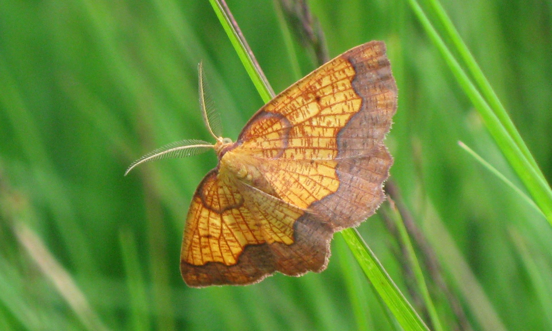 Fewer than 100 dark bordered beauty moths may be left in England. Photo courtesy of University of York.