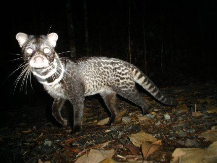 06_Malay civet Viverra tangalunga