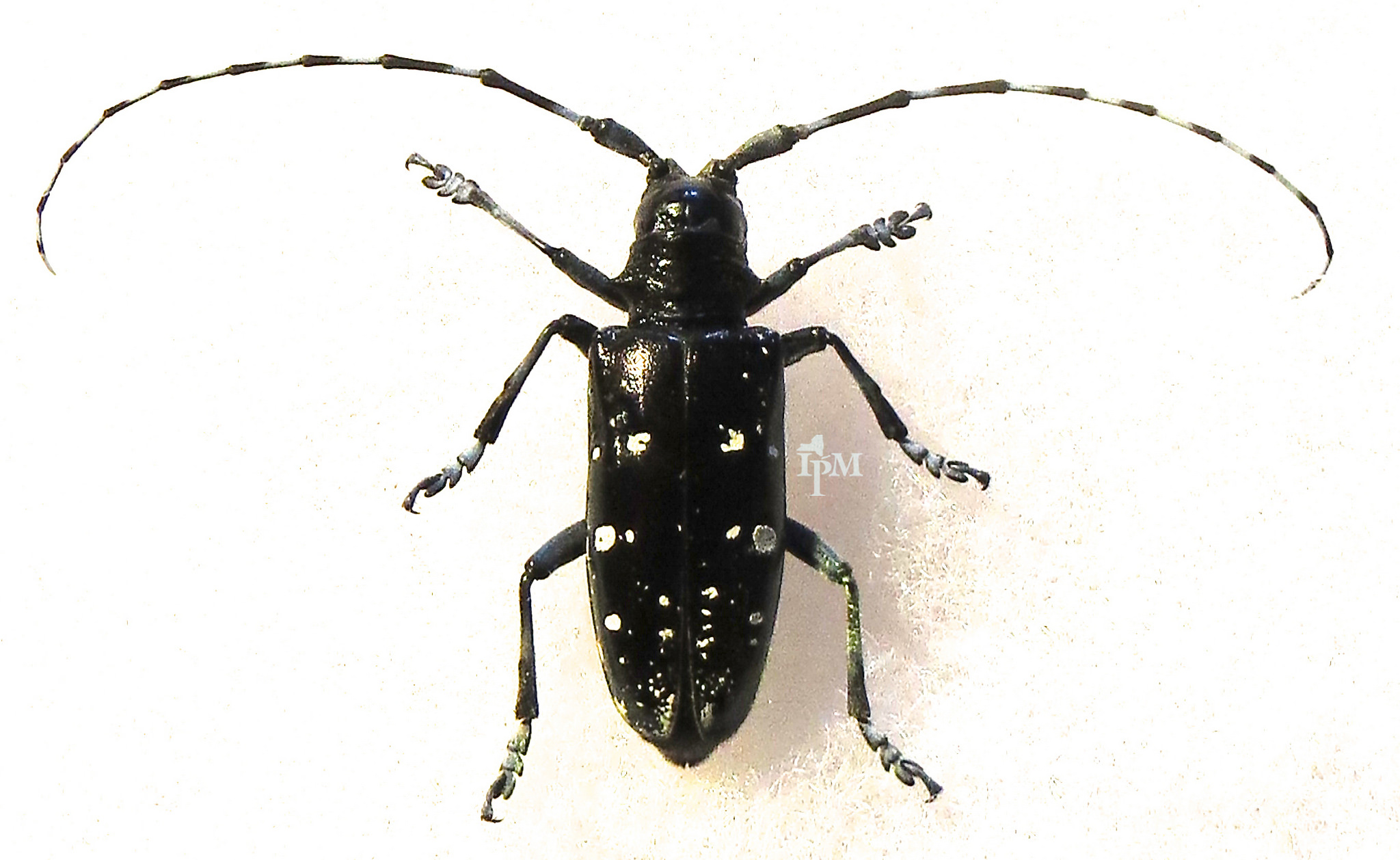 The Asian longhorn beetle is a major pest of hardwood tree. Photo courtesy of NY State IPM Program at Cornell University. CC BY-SA 2.0.