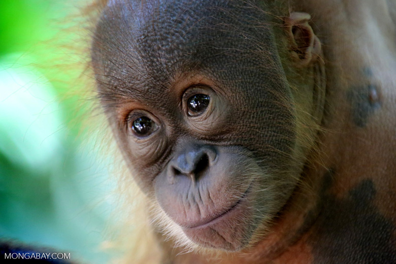 Fires and associated haze have put endangered species like Sumatran and Bornean orangutans at greater risk. Photo by Rhett A. Butler