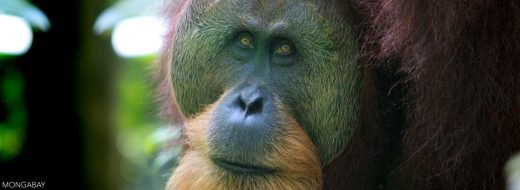 Sumatran orangutan. Photo by Rhett A. Butler