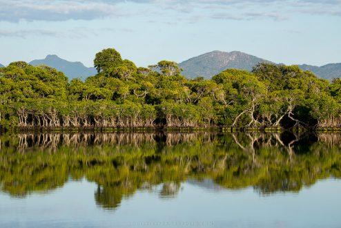 Mangrove lemurs_image 1a