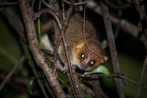 Mangrove lemurs_image 4