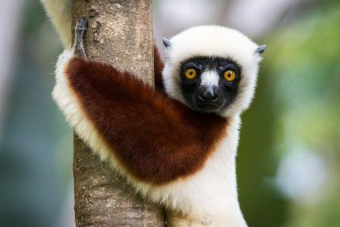 Mangrove lemurs_image 2