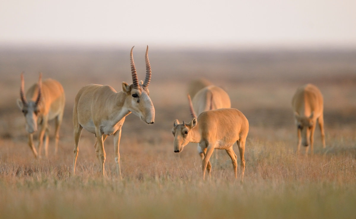 About 200,000 saiga antelopes died last year likely due to a bacterial infection. Photo courtesy of