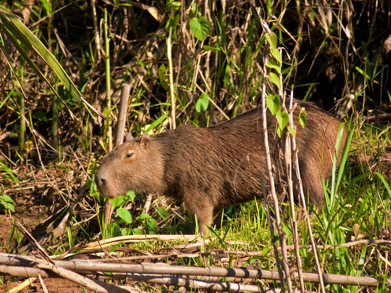 Capybara (Hydrochoerus hydrochaeris), Madre de Dios, Peru. Photo by David Cook/Flickr.