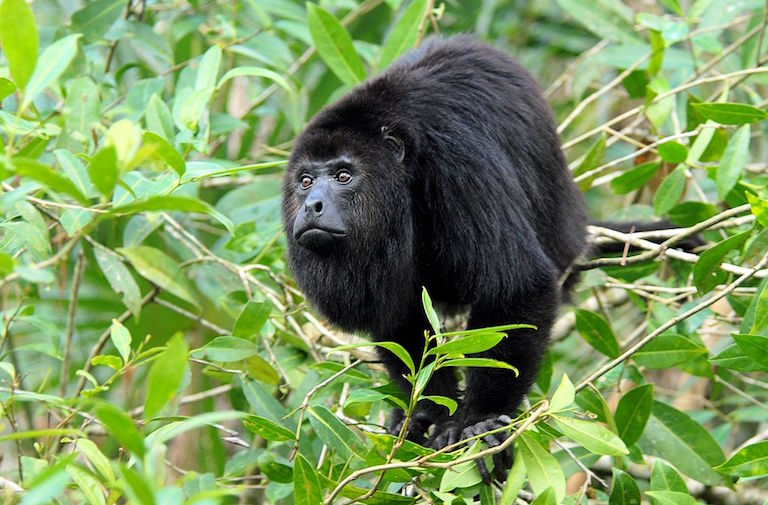 A captive Guatemalan black howler monkey (Alouatta pigra). Photo courtesy of Dave Johnso/Wikimedia Commons.
