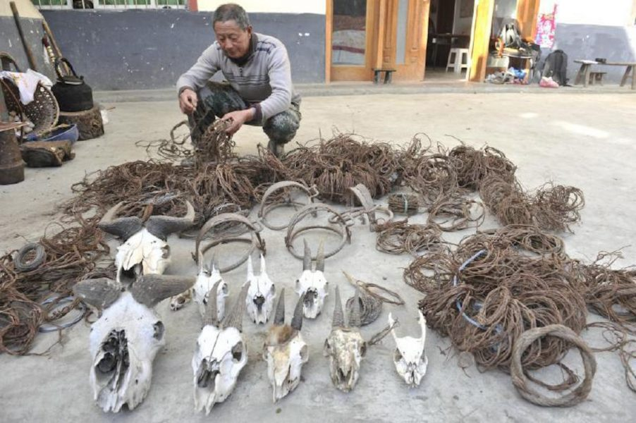 A portion of the wire loops cleared by the patrol team during the previous two decades. Photo courtesy of West China Metropolis Daily.