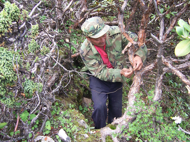 A patrol member clears a wire snare on January 3, 2015. Photo courtesy of Jiudingshan Friend of Wildlife Association.