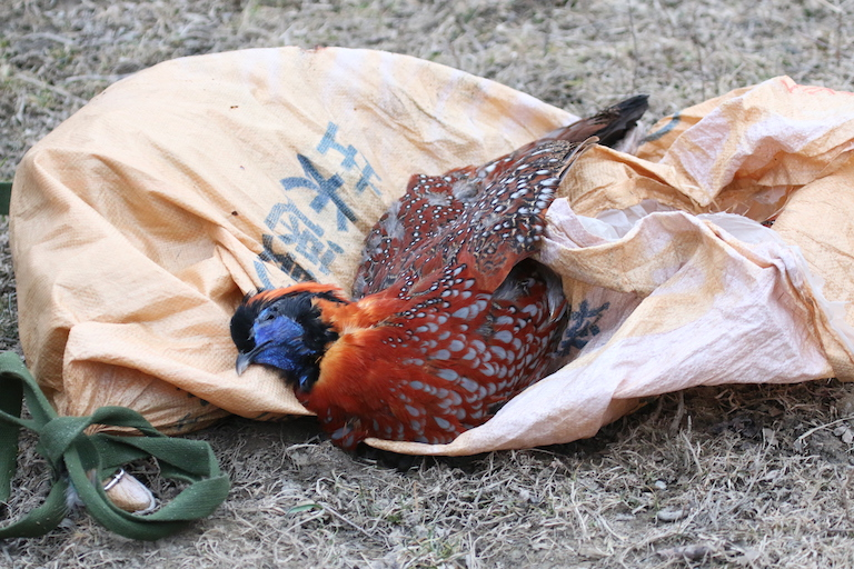 A crimson-bellied tragopan (Tragopan temminckii) killed by a poacher on February 9, 2015.