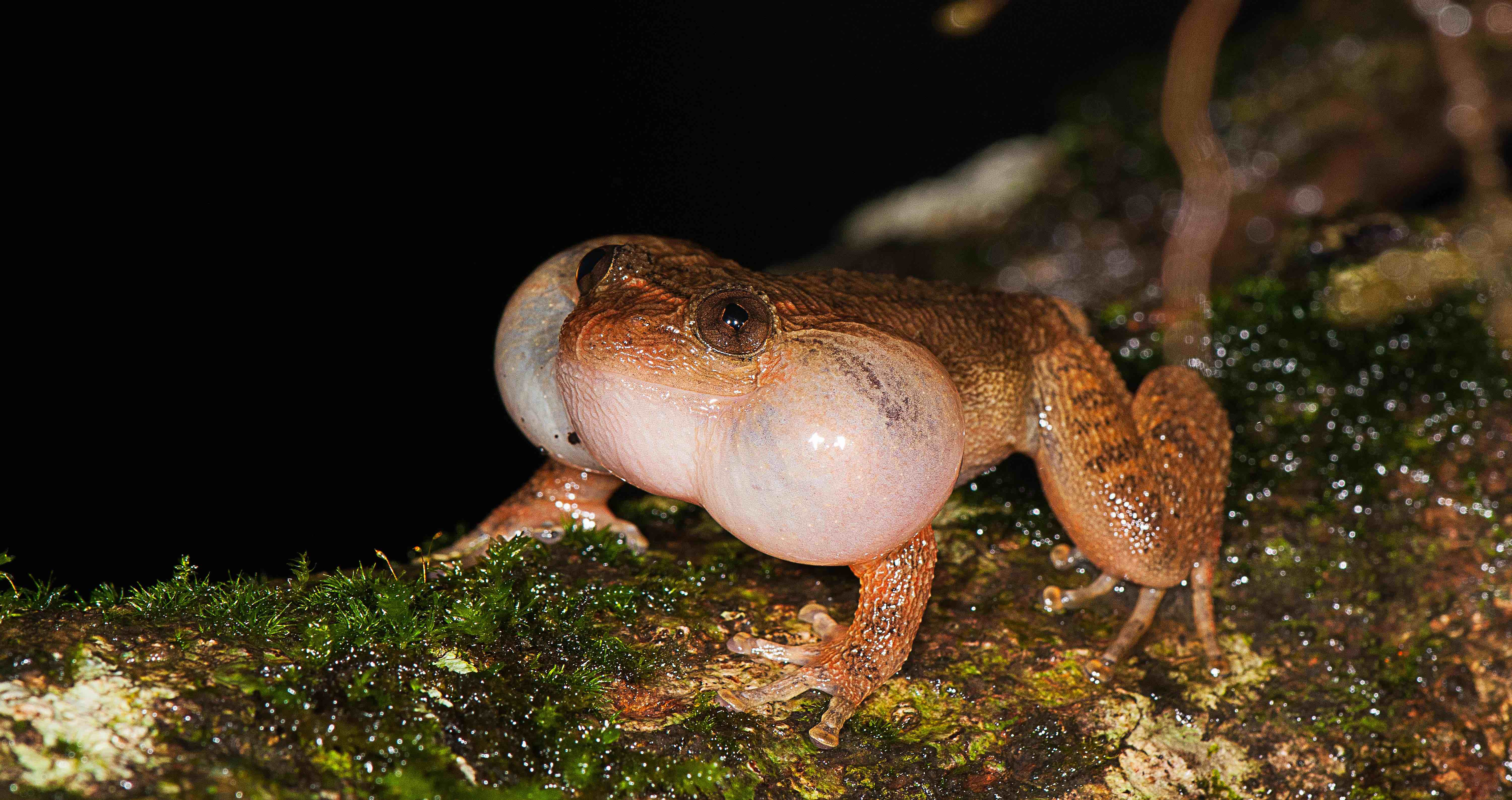 Male Bombay Night frog found calling from a fallen tree trunk. Photo by SD Biju.