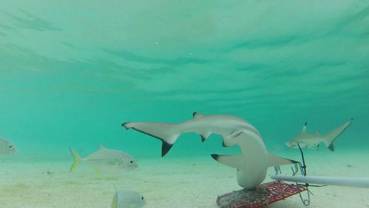 A still of juvenile blacktip reef sharks (Carcharhinus melanopterus) from the baited Go-Pro rig that researchers set in the waters of the Daram no-take zone in West Papua, Indonesia. Photo by Vanessa Jaiteh.