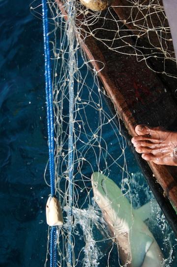 A reef shark caught in a gillnet. Photo by Vanessa Jaiteh.