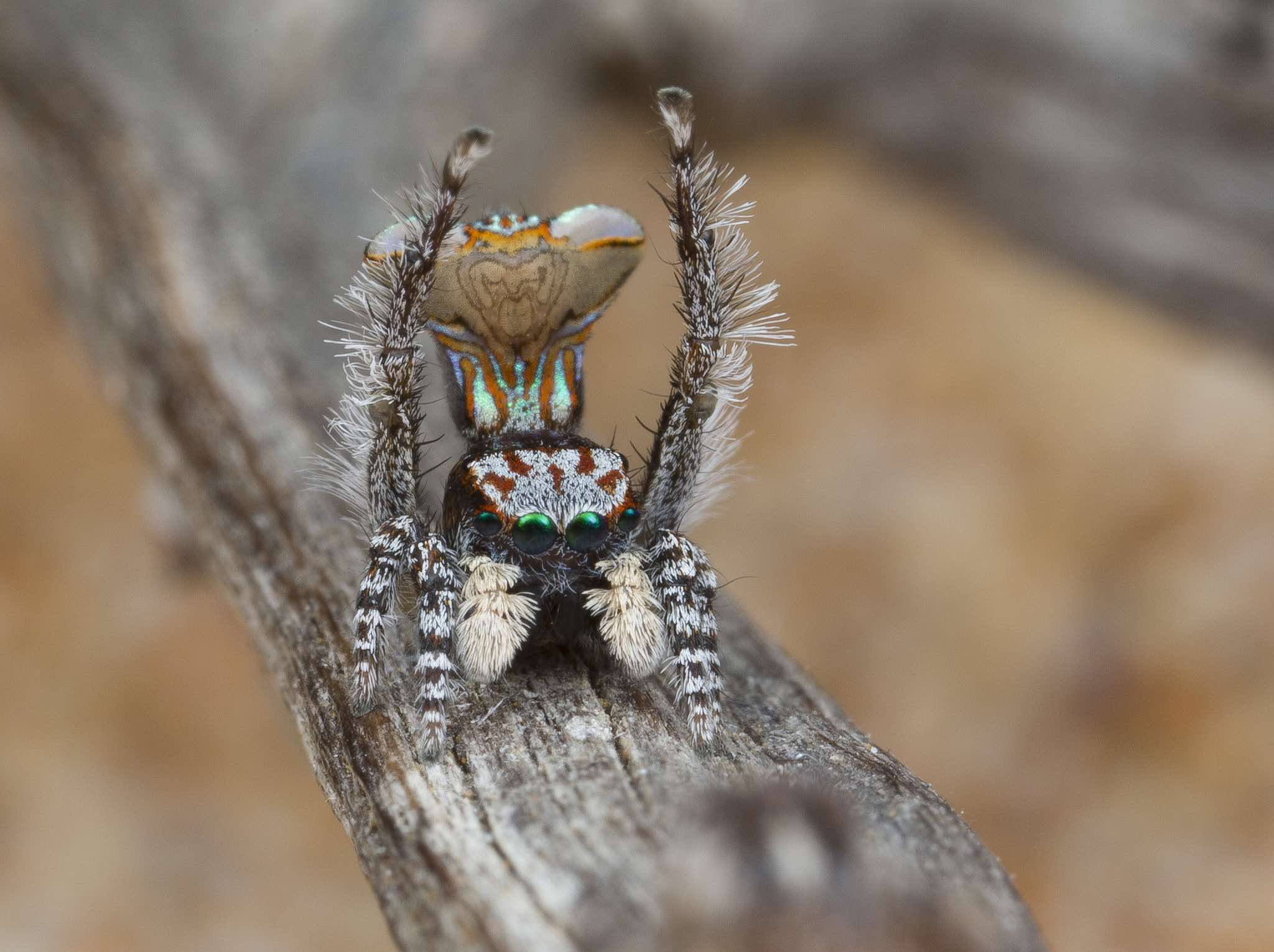 Newly discovered Maratus vespa is named after the patterns on its back that resembles a wasp. Photo by Jürgen C. Otto.