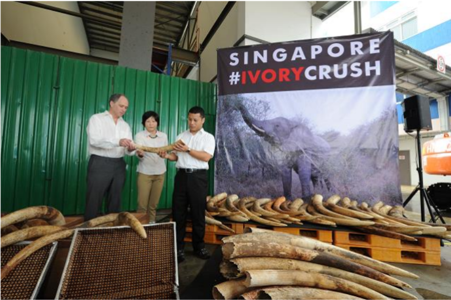 In Singapore's first ever ivory crushing event, the Agri-Food & Veterinary Authority of Singapore crushed a total of 7.9 tonnes of seized elephant ivory, estimated to be valued at S$13 million. From Left: Mr. Scott Wightman, British High Commissioner to Singapore, Ms. Tan Poh Hong, CEO, Agri-Food & Veterinary Authority of Singapore, Mr. Desmond Lee, Senior Minister of State for National Development and Home Affairs. Photo courtesy of AVA.