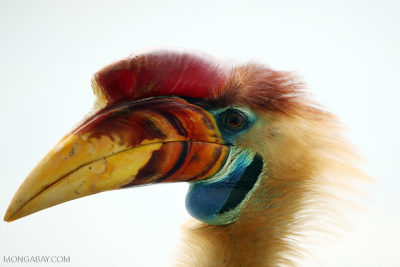 Sulawesi's Knobbed hornbill. Hornbills have been targeted for their casques. Photo by Rhett A. Butler