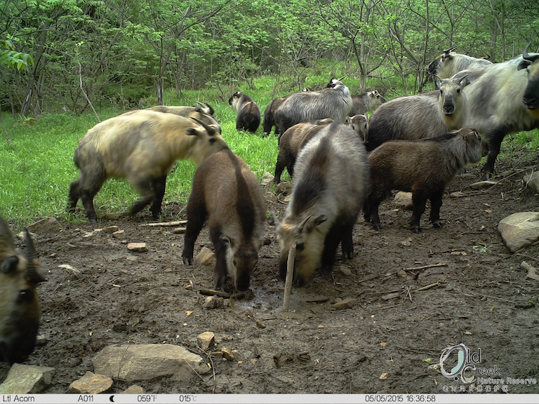 Takin (Budorcas taxicolor). Photo courtesy of Laohegou Nature Reserve Center.