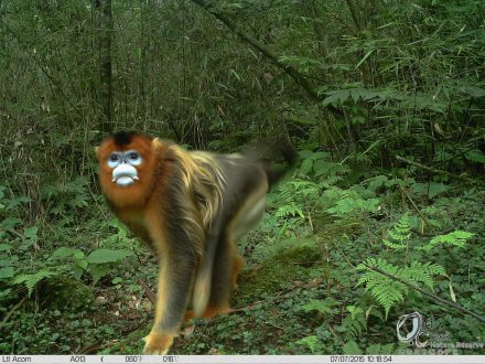 A golden snub-nosed monkey (Rhinopithecus roxellana), caught on camera trap inside the reserve. Photo courtesy of Laohegou Nature Reserve Center.